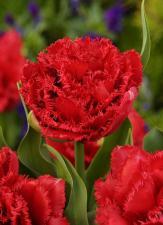 Тюльпан Лион Кинг (10 шт.)