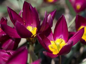 Тюльпан Одалиска (10 шт.)