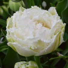 Тюльпан Сноу Кристал (10 шт.)