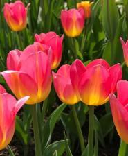 Тюльпан Том Пус  (Триумф) (10 шт.)