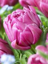 Тюльпан Дабл Ю (Махровый Поздний) (1 шт.)