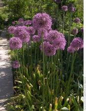 Лук декоративный Розенбаха   Allium Rosenbachianum