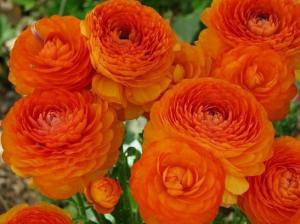 Ранункулюс Оранжевый (10 шт.)