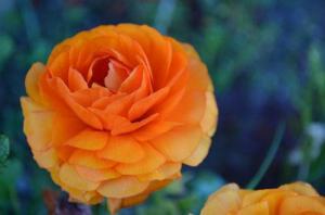 Ранункулюс Пикоти Оранжевый (10 шт.)