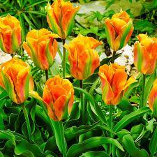 Тюльпан Голден Артист (зелёно-цветковый) (1 шт.)