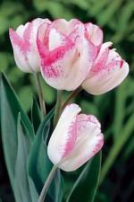 Тюльпан Клауд Найн (Многоцветковый) (10 шт.)