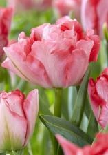 Тюльпан Принцесс Анжелика (Махровый Поздний) (10 шт.)