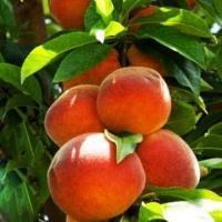 Персик колоновидный Юбилей Столицы