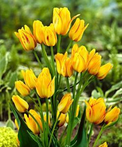 Тюльпан Саншайн Клаб (Многоцветковый) (10шт.)