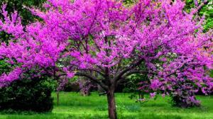 Церцис (Иудово дерево) Канадский