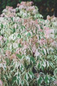 Клен ясенелистный Фламинго