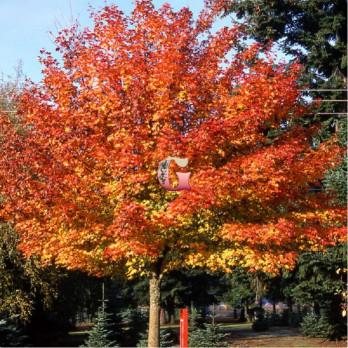 Клен остролистный Дебора | Acer platanoides 'Deborah